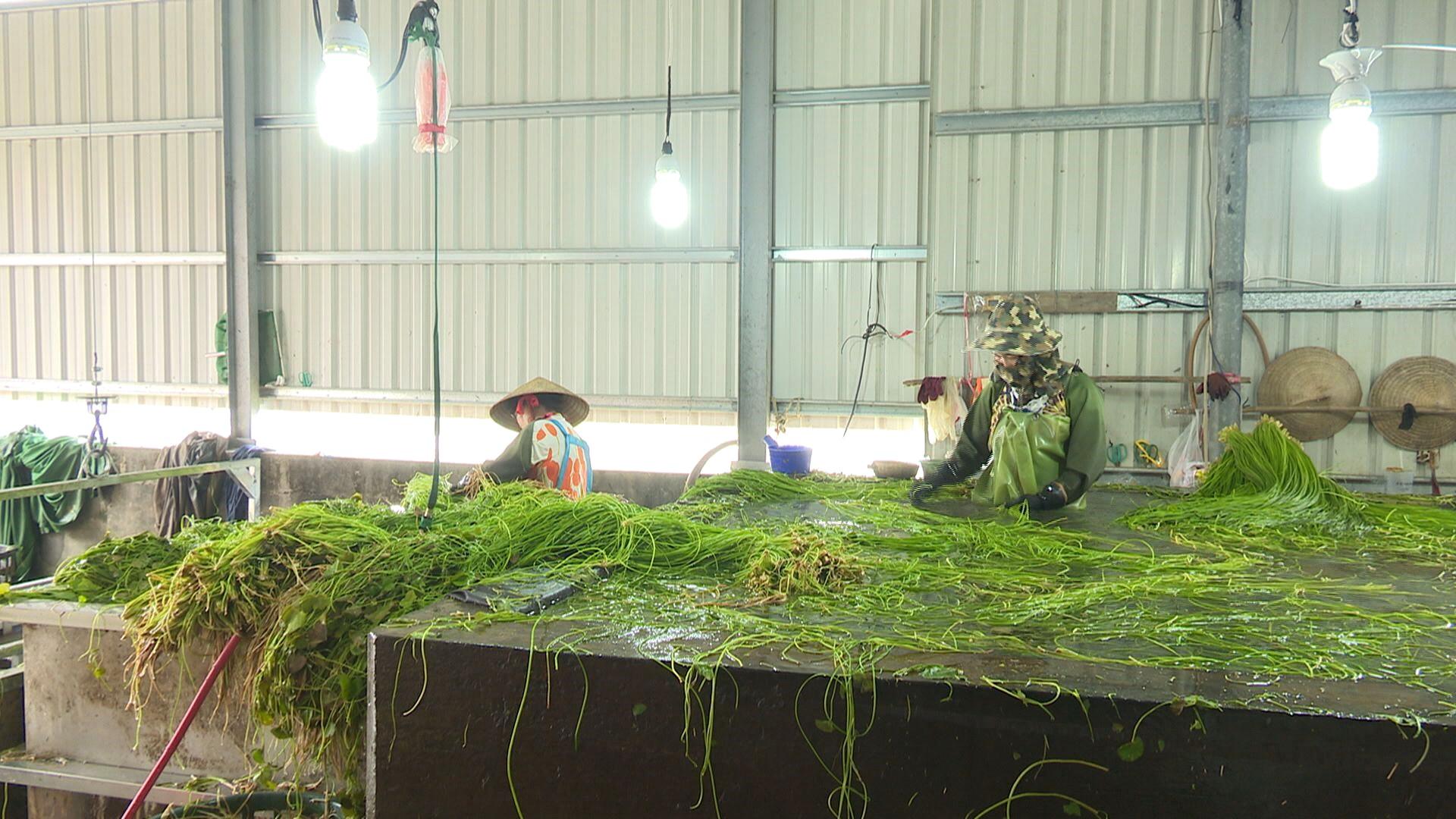 Mei-Nung khan hiếm lao động di trú thu hoạch rau tràng